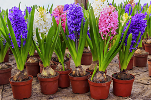 Collection of Hyacinth flowers in plant pots